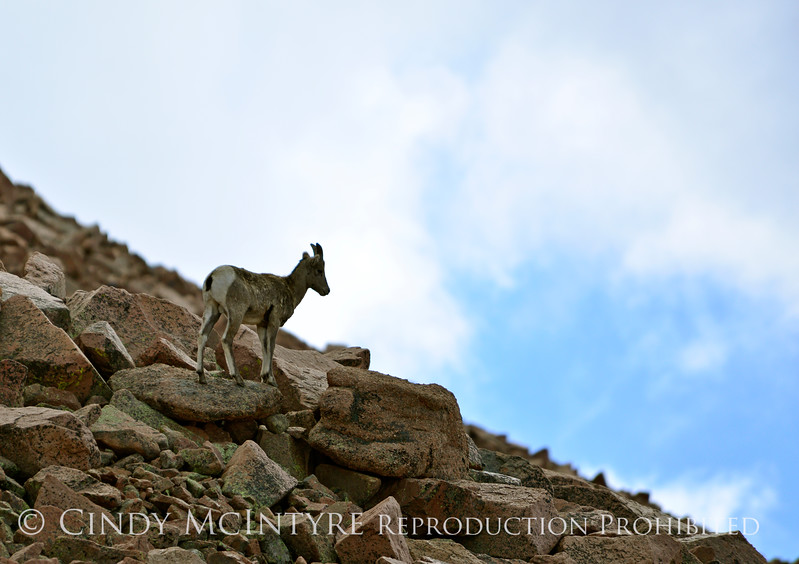 Rocky Mt Bighorn Sheep, Pikes Peak CO (54)