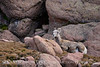 Rocky Mt Bighorn Sheep, Pikes Peak CO (12)