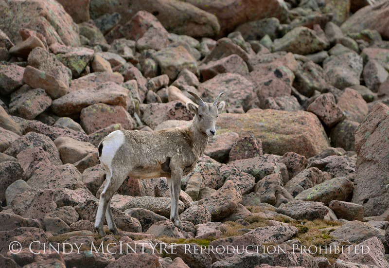 Rocky Mt Bighorn Sheep, Pikes Peak CO (17)