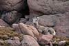 Rocky Mt Bighorn Sheep, Pikes Peak CO (44)