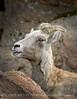 Rocky Mt Bighorn Sheep, Pikes Peak CO (43) copy