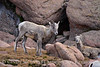 Rocky Mt Bighorn Sheep, Pikes Peak CO (5)