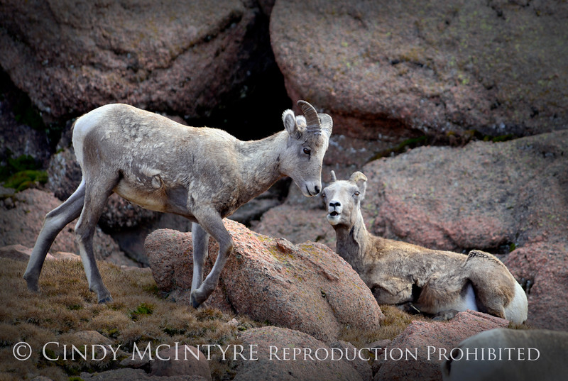 Rocky Mt Bighorn Sheep, Pikes Peak CO (10)