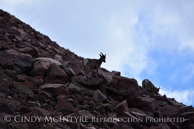 Rocky Mt Bighorn Sheep, Pikes Peak CO (50)