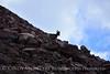 Rocky Mt Bighorn Sheep, Pikes Peak CO (50)