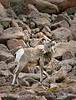 Rocky Mt Bighorn Sheep, Pikes Peak CO (18)