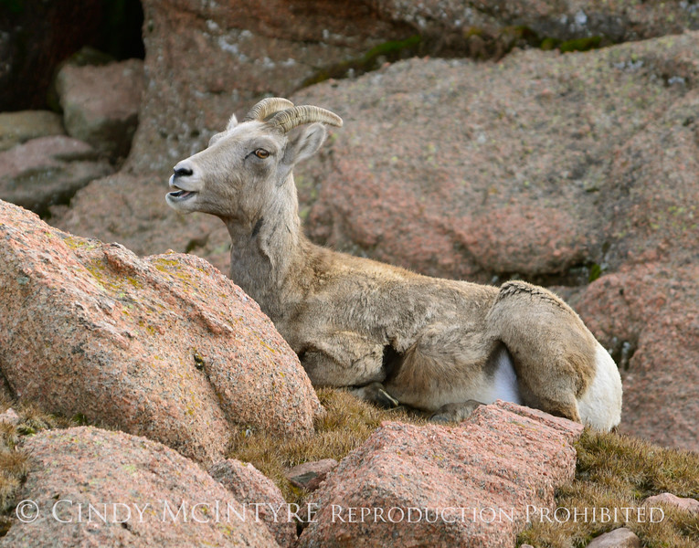Rocky Mt Bighorn Sheep, Pikes Peak CO (43)