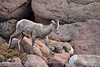 Rocky Mt Bighorn Sheep, Pikes Peak CO (11)