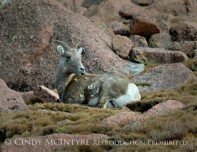 Rocky Mt Bighorn Sheep, Pikes Peak CO (23)