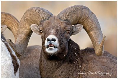 Ram face.