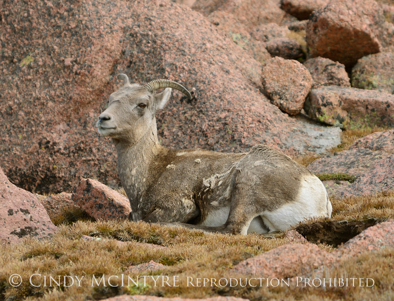 Rocky Mt Bighorn Sheep, Pikes Peak CO (21)