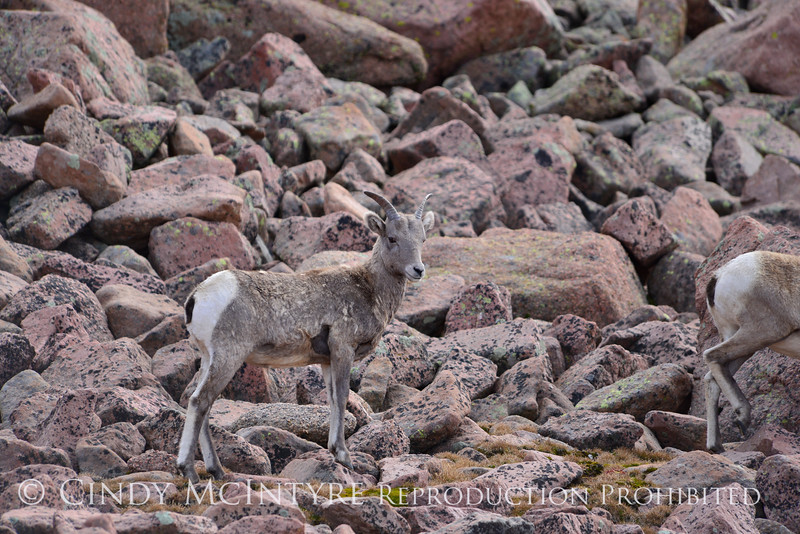 Rocky Mt Bighorn Sheep, Pikes Peak CO (15)