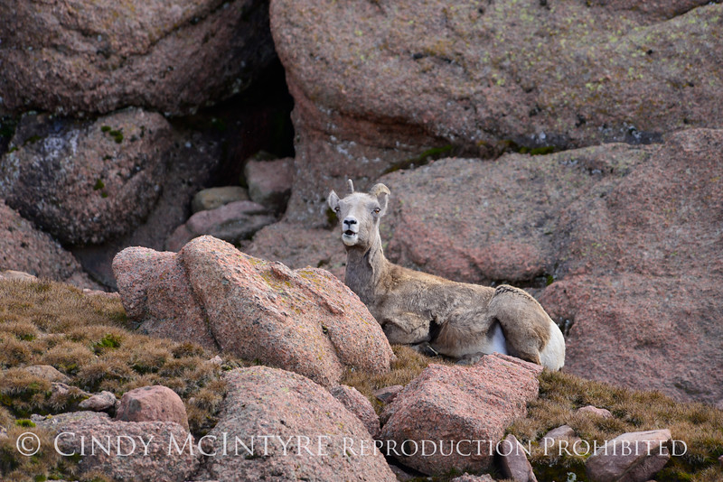Rocky Mt Bighorn Sheep, Pikes Peak CO (46)