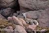 Rocky Mt Bighorn Sheep, Pikes Peak CO (46)