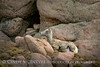 Rocky Mt Bighorn Sheep, Pikes Peak CO (40)