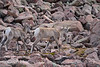 Rocky Mt Bighorn Sheep, Pikes Peak CO (14)