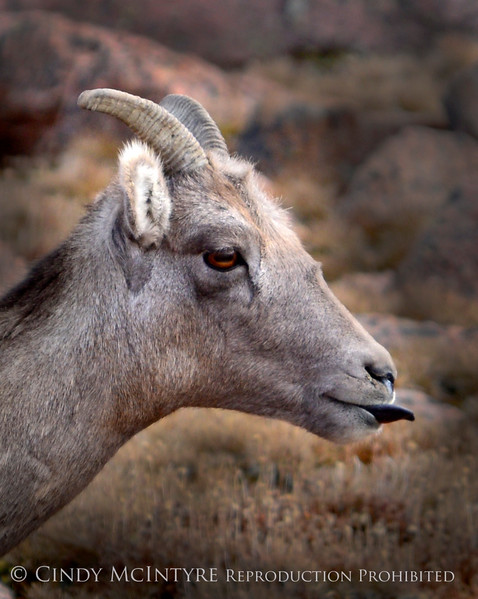 Rocky Mt Bighorn sheep sticking tongue, Pikes Peak CO (2)