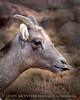 Rocky Mt Bighorn sheep sticking tongue, Pikes Peak CO (2)
