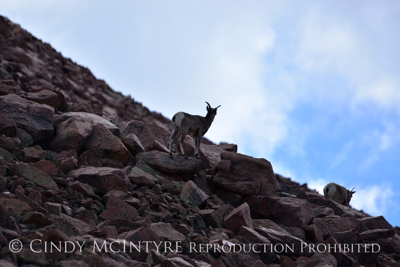 Rocky Mt Bighorn Sheep, Pikes Peak CO (52)