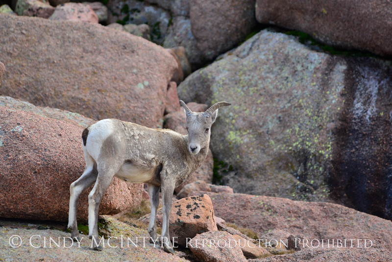 Rocky Mt Bighorn Sheep, Pikes Peak CO (4)