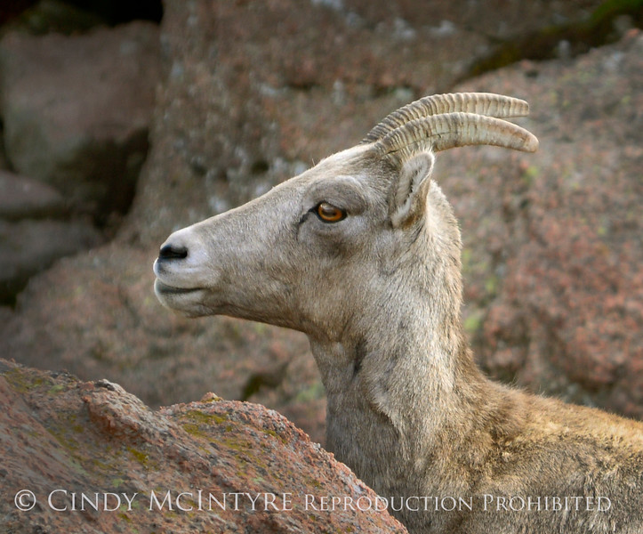 Rocky Mt Bighorn Sheep, Pikes Peak CO (40) copy