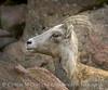 Rocky Mt Bighorn Sheep, Pikes Peak CO (40) copy