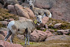 Rocky Mt Bighorn Sheep, Pikes Peak CO (1)