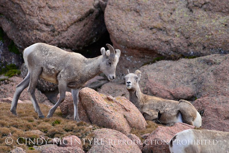Rocky Mt Bighorn Sheep, Pikes Peak CO (9)