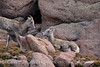 Rocky Mt Bighorn Sheep, Pikes Peak CO (38)