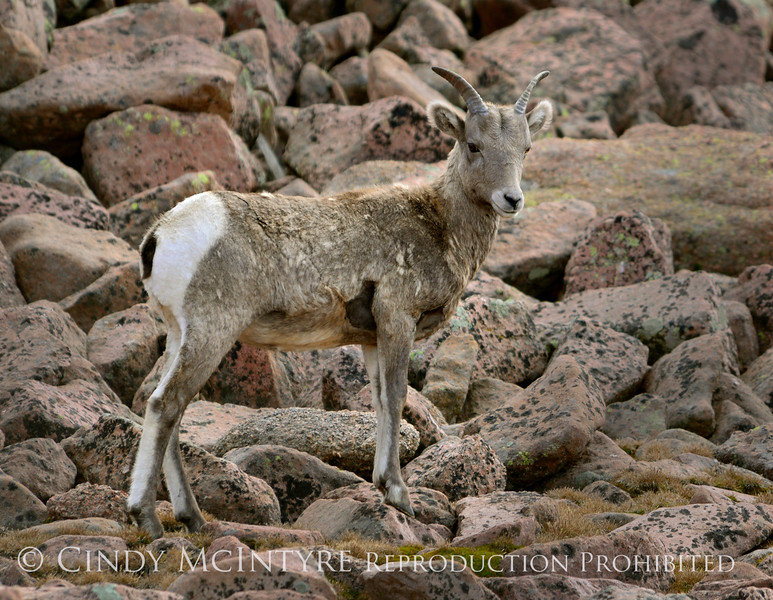 Rocky Mt Bighorn Sheep, Pikes Peak CO (16)