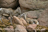 Rocky Mt Bighorn Sheep, Pikes Peak CO (39)