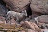 Rocky Mt Bighorn Sheep, Pikes Peak CO (6)