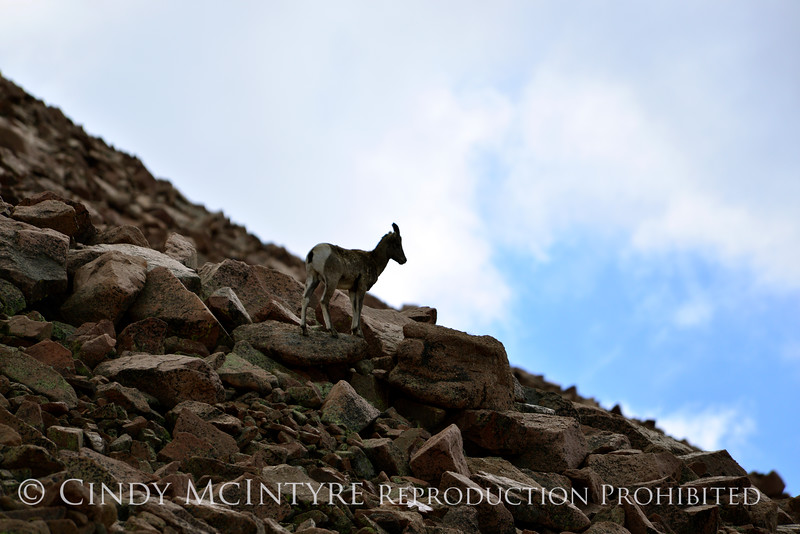 Rocky Mt Bighorn Sheep, Pikes Peak CO (55)