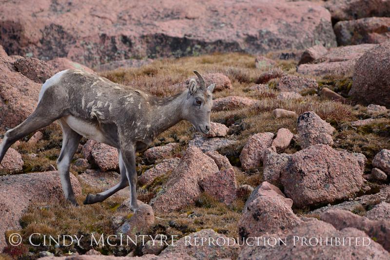 Rocky Mt Bighorn Sheep, Pikes Peak CO (34)
