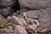 Rocky Mt Bighorn Sheep, Pikes Peak CO (48)