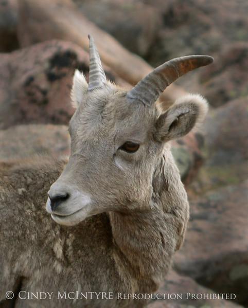 Rocky Mt Bighorn Sheep, Pikes Peak CO (19) copy