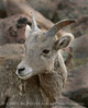 Rocky Mt Bighorn Sheep, Pikes Peak CO (19) copy