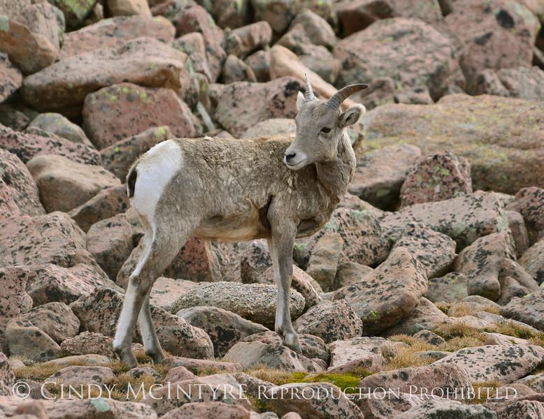 Rocky Mt Bighorn Sheep, Pikes Peak CO (19)