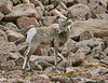 Rocky Mt Bighorn Sheep, Pikes Peak CO (19)
