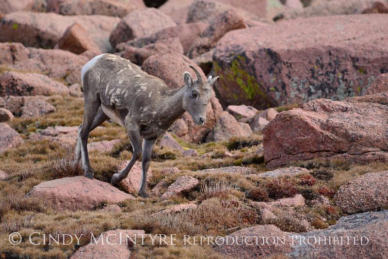 Rocky Mt Bighorn Sheep, Pikes Peak CO (32)