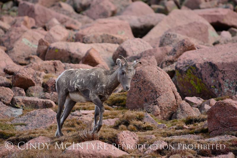 Rocky Mt Bighorn Sheep, Pikes Peak CO (31)