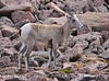 Rocky Mt Bighorn Sheep, Pikes Peak CO (13)