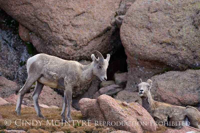Rocky Mt Bighorn Sheep, Pikes Peak CO (7)
