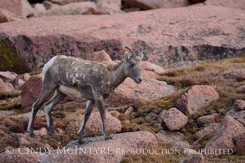 Rocky Mt Bighorn Sheep, Pikes Peak CO (33)