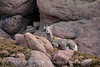 Rocky Mt Bighorn Sheep, Pikes Peak CO (49)