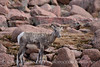 Rocky Mt Bighorn Sheep, Pikes Peak CO (37)