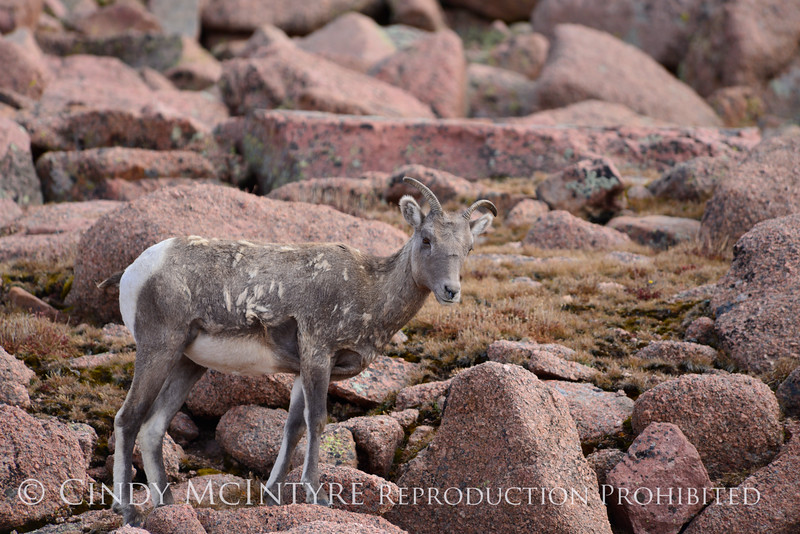 Rocky Mt Bighorn Sheep, Pikes Peak CO (36)