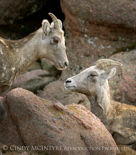 Rocky Mt Bighorn Sheep, Pikes Peak CO (39) copy