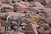 Rocky Mt Bighorn Sheep, Pikes Peak CO (35)