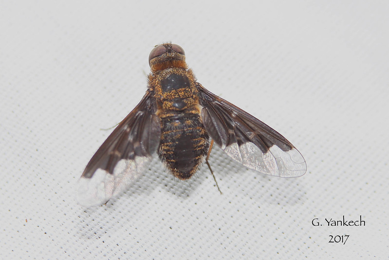 Hemipenthes morio (bee fly)